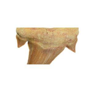 Мегалодоны - Otodus obliquus