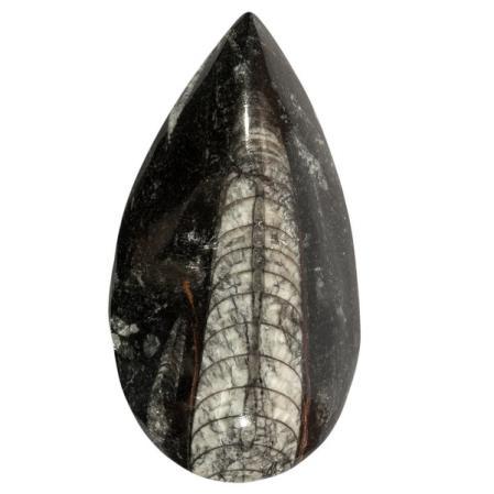 Ортоцерас